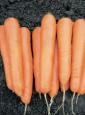 vilmorin-carrots-variety-attillio