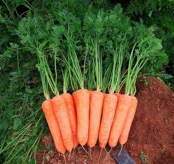 морковь диаменто