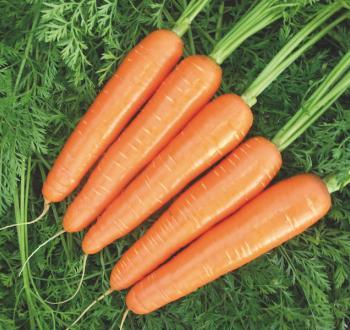 Морковь Вильморин Нантес