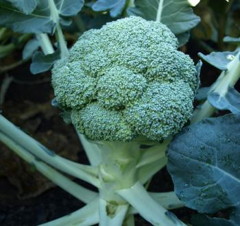 Principle broccoli Vilmorin HM.CLAUSE