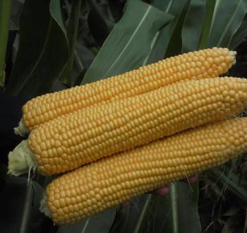 Kiara Sweet Corn