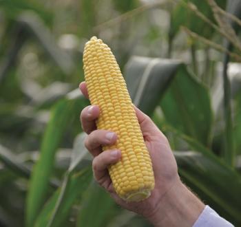 Кукуруза Турбин