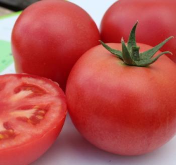 V445 Tomato Vilmorin