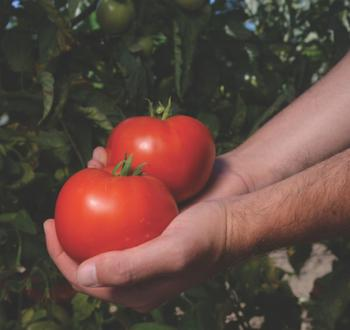 Reeham Tomato Вильморин
