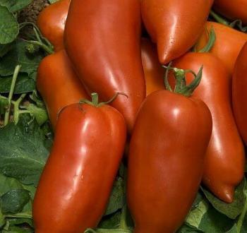 томат корнабель