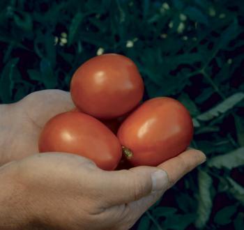 СХД 142 томат