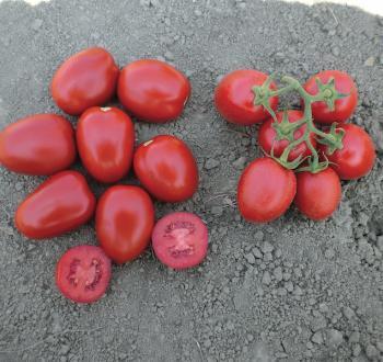 Милта томат помидор Вильморин