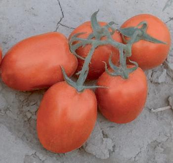 Поллюкс томат